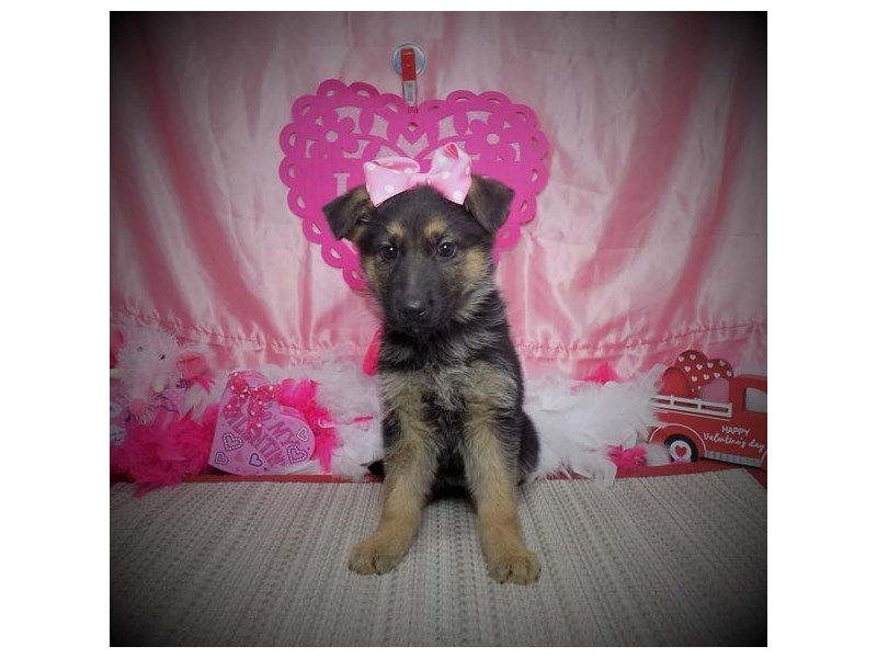 German Shepherd Dog-Female-Black / Tan-2980370-My Next Puppy