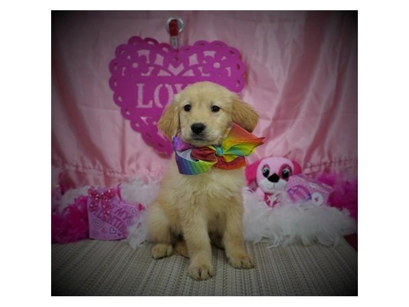 Golden Retriever-Female-Golden-2980375-My Next Puppy