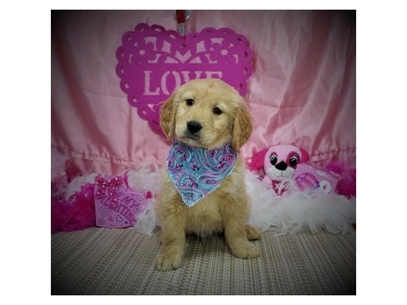 Golden Retriever-Male-Golden-2980378-My Next Puppy