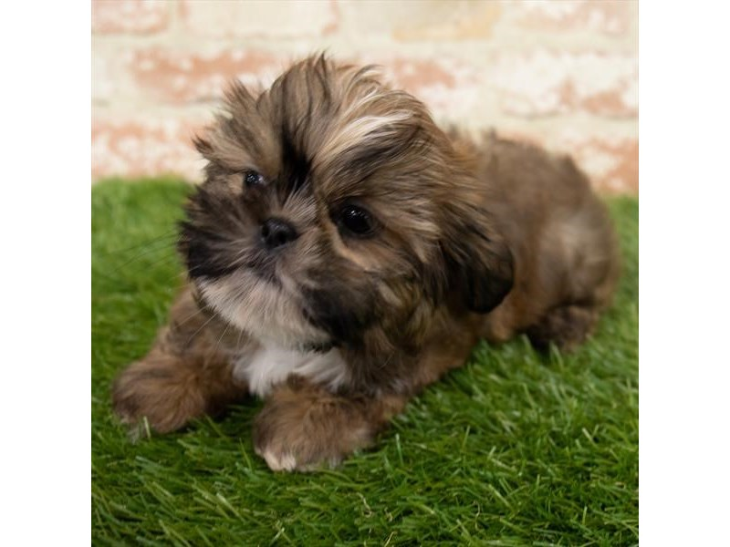 Shih Tzu-Male-Gold-2980380-My Next Puppy