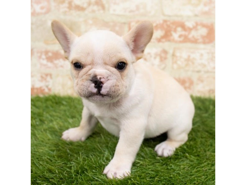 French Bulldog-Male-Cream-2980422-My Next Puppy