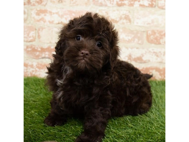 Miniature Labradoodle-Male-Chocolate-2989275-My Next Puppy
