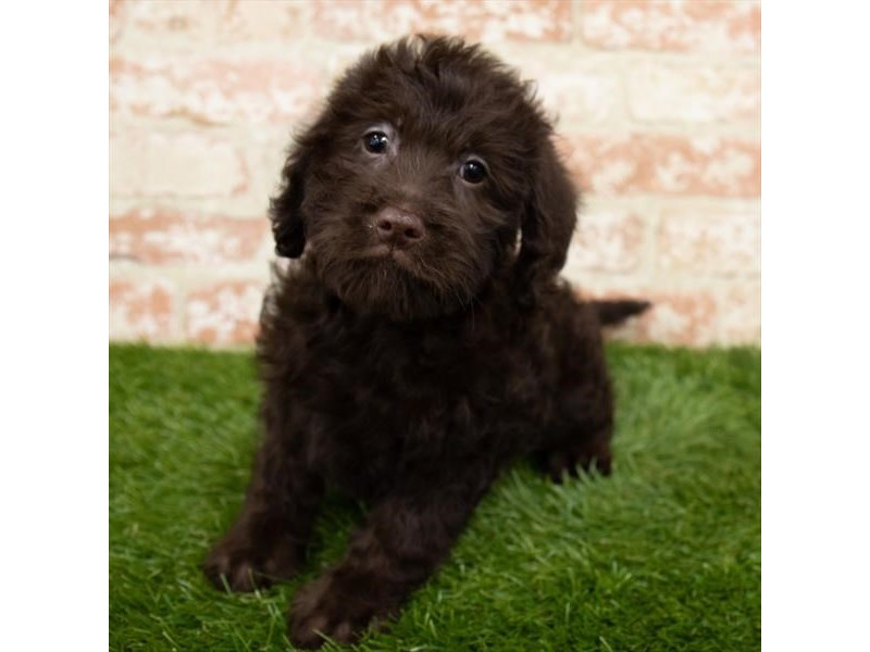 Miniature Labradoodle-Female-Chocolate-2989278-My Next Puppy