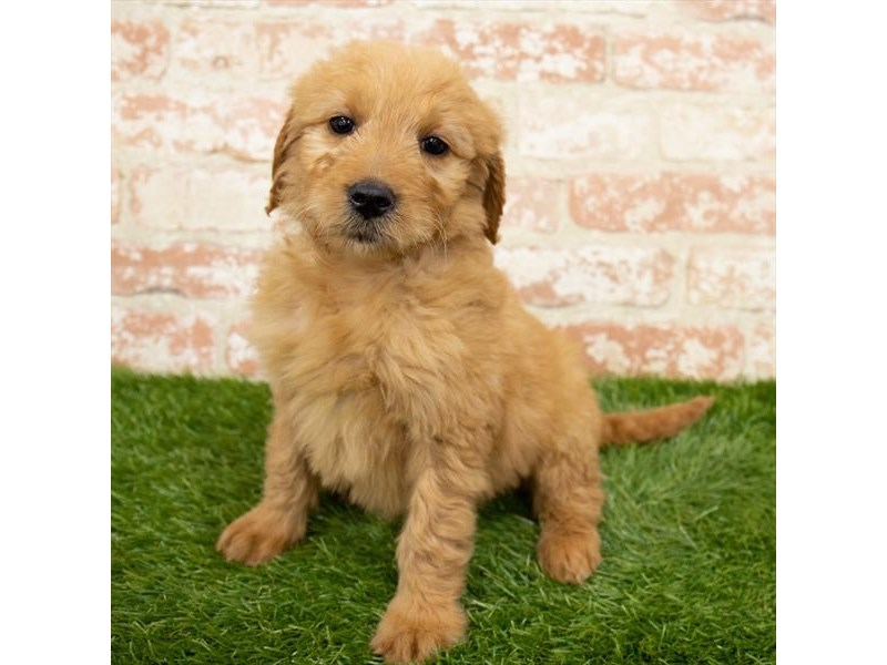 Goldendoodle-Female-Golden-2989279-My Next Puppy