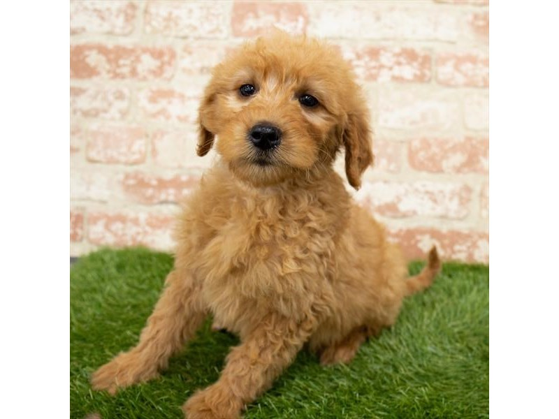 Goldendoodle-Male-Golden-2989280-My Next Puppy