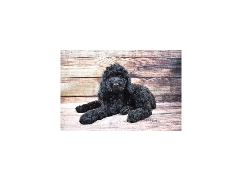 Standard Poodle-Female-Black-2989471-My Next Puppy