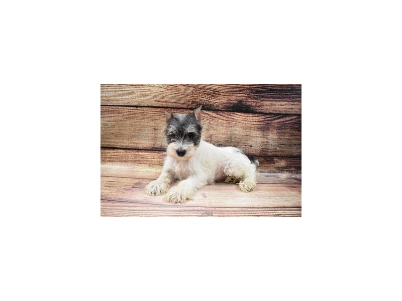 Miniature Schnauzer-Female-Salt and Pepper-2989616-My Next Puppy