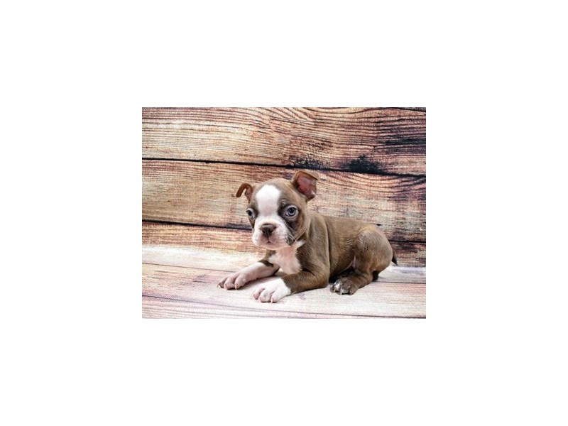 Boston Terrier-Male-Seal and White-2989763-My Next Puppy