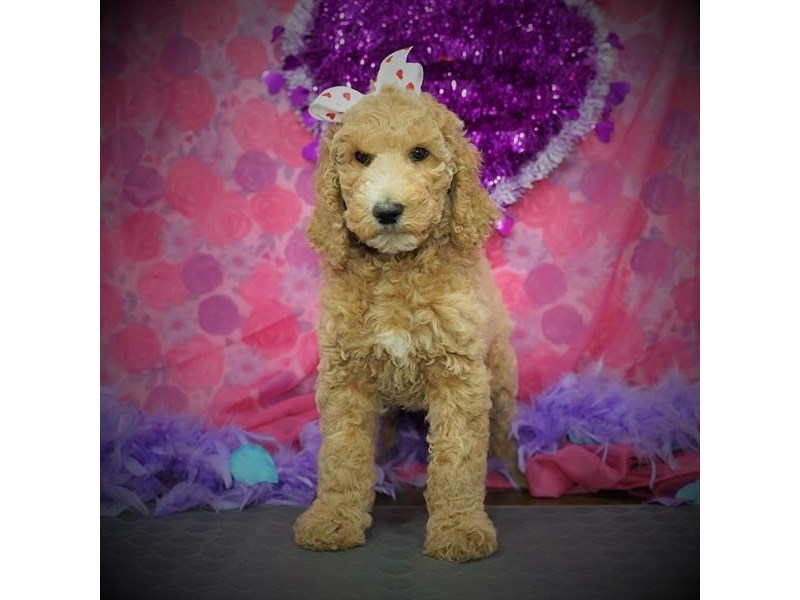 Standard Poodle-Female-Apricot-2997083-My Next Puppy