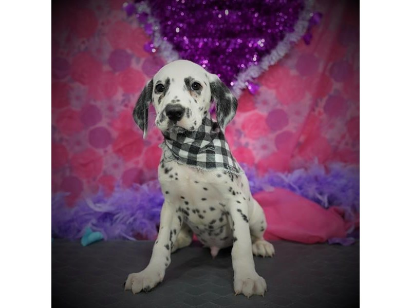 Dalmatian-Male-White / Black-2997084-My Next Puppy