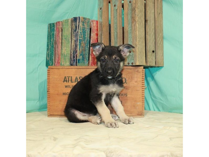 German Shepherd-Female-Black / Tan-2997086-My Next Puppy
