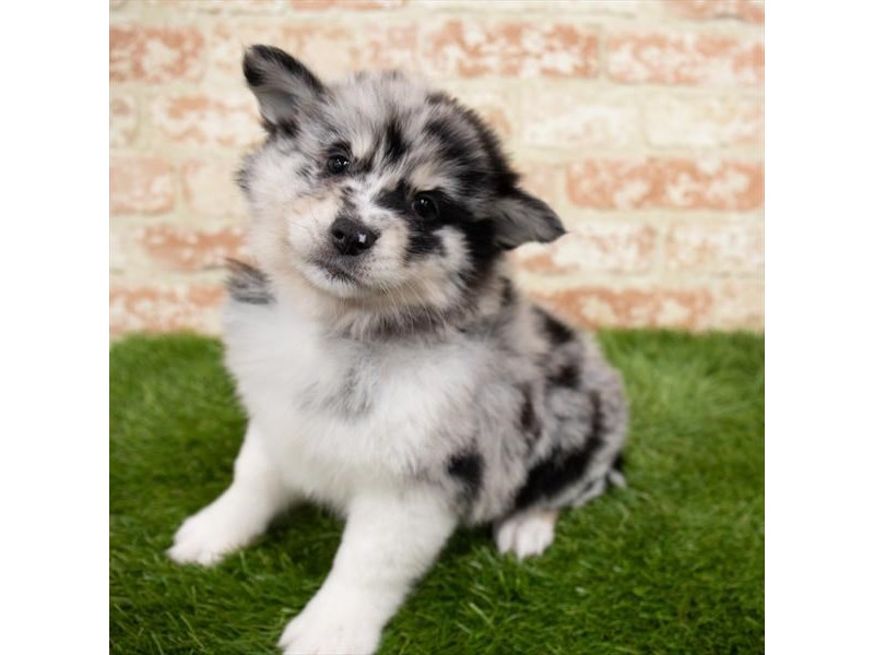 Pomsky-Male-Blue Merle-2997088-My Next Puppy
