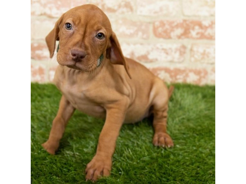 Vizsla-Female-Red-2997090-My Next Puppy