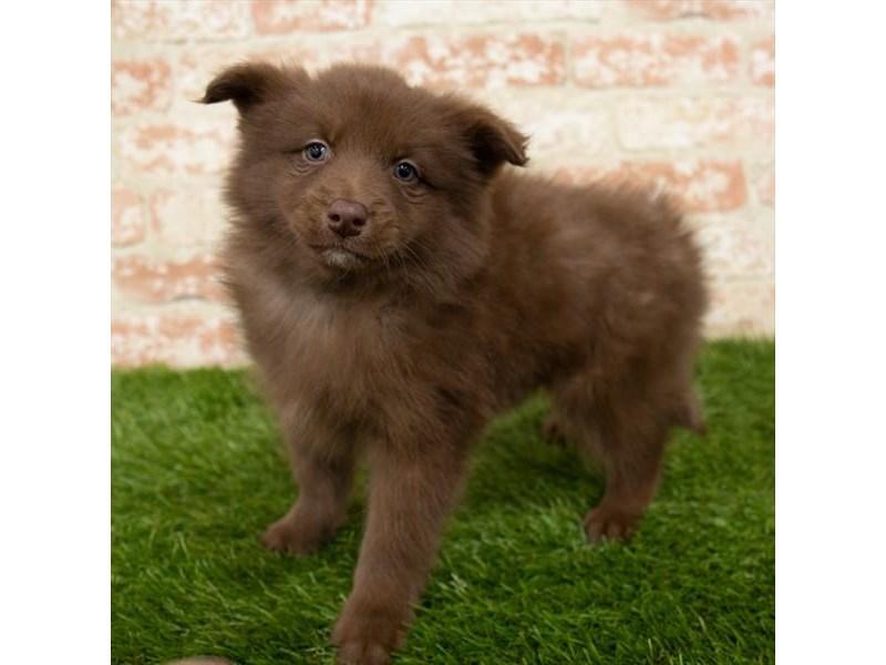 Pomsky 2nd Gen-Female-Red-2997091-My Next Puppy