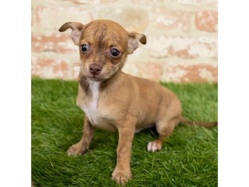 Chihuahua-Male-Red-2997092-My Next Puppy