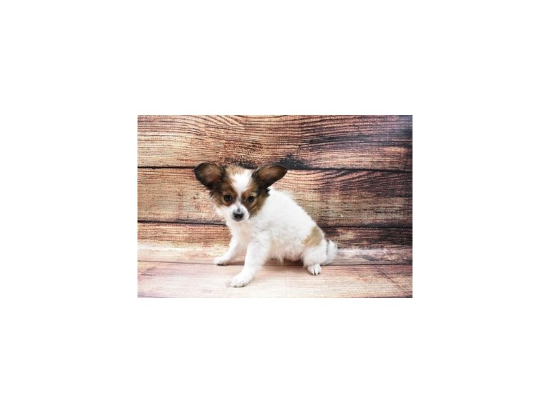 Papillon-Female-Red and White-2998004-My Next Puppy