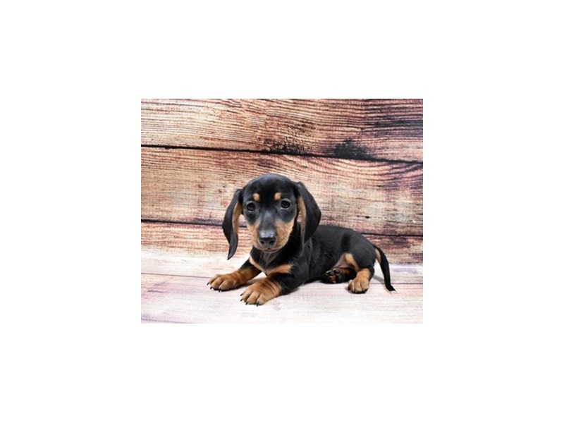 Miniature Dachshund-Male-Black and Tan-2998010-My Next Puppy