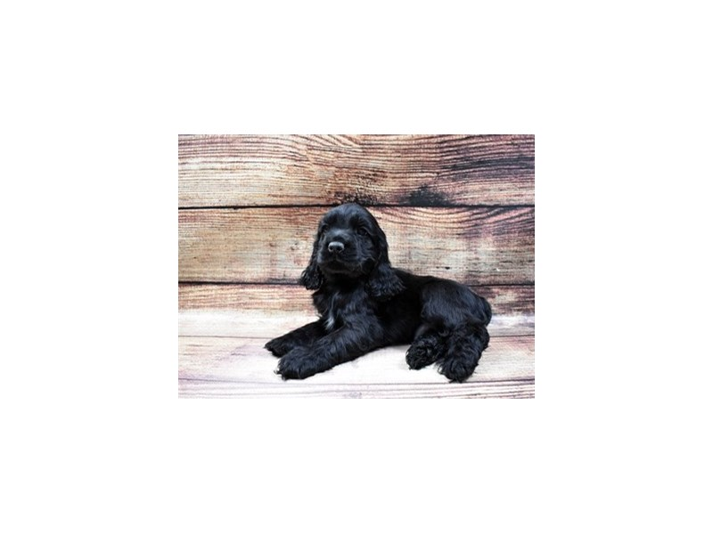 Cocker Spaniel-Male-Black-2998029-My Next Puppy