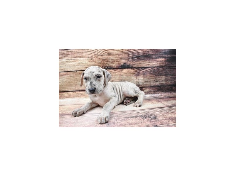 Great Dane-Female-Merle-2998126-My Next Puppy