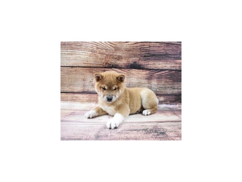 Shiba Inu-Female-Red-2998235-My Next Puppy