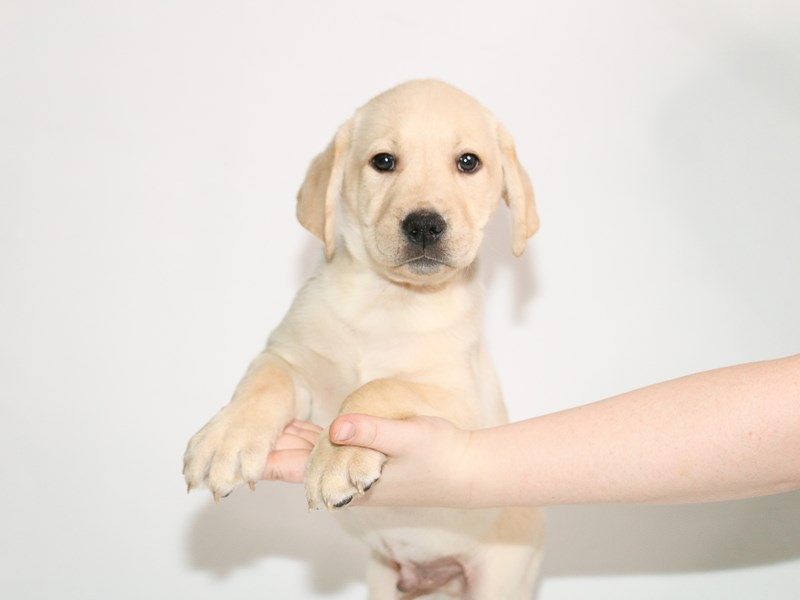 Labrador Retriever-Male-Yellow-3005163-My Next Puppy