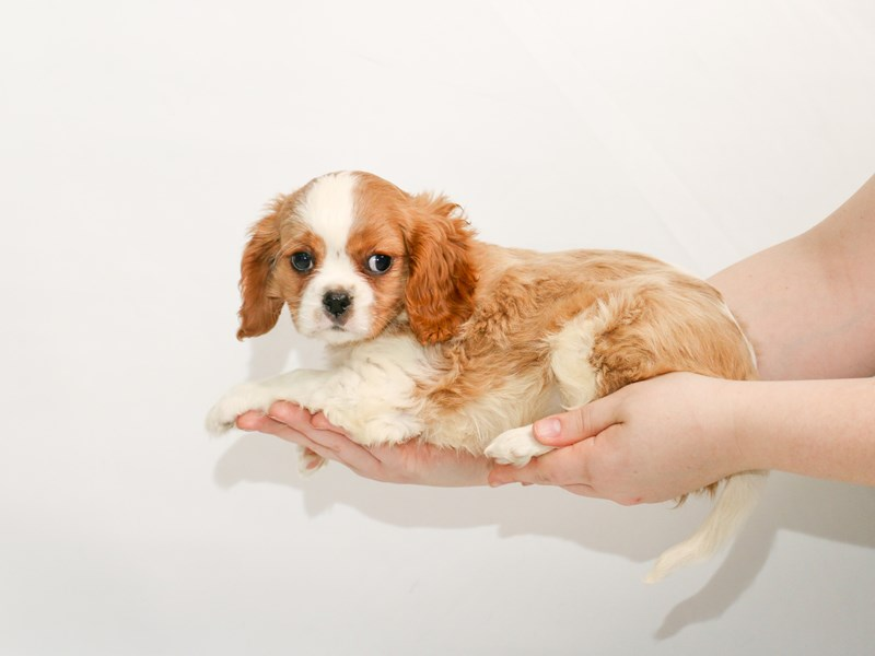 Cavalier King Charles Spaniel-Male-Blenheim-3005788-My Next Puppy