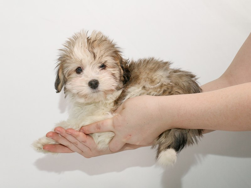 Havanese-Male-Gold Sable-3005165-My Next Puppy