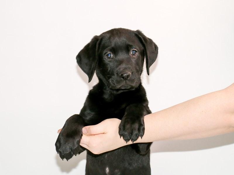 Labrador Retriever-Male-Black-3005167-My Next Puppy