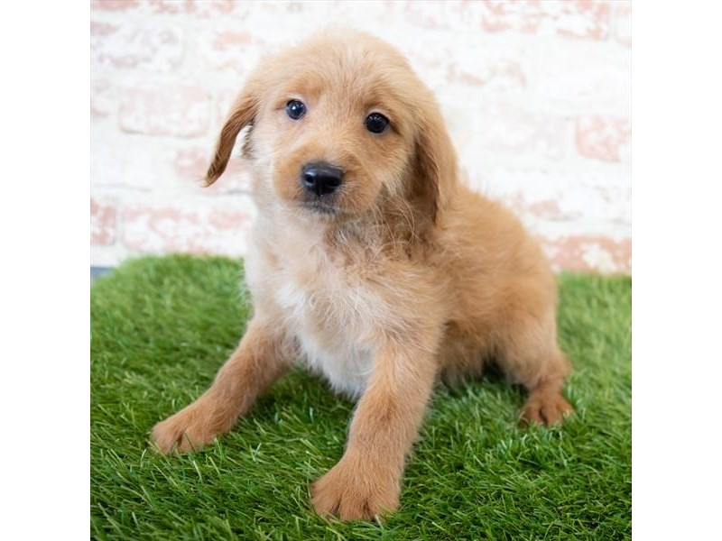 Goldendoodle Mini 2nd Gen-Male-Golden-3015349-My Next Puppy