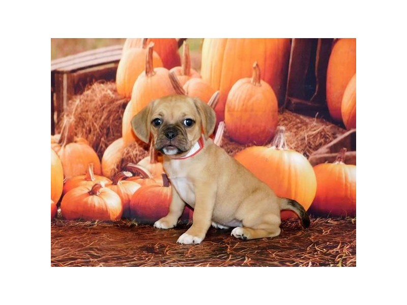 Puggle-Female-Fawn-2918647-My Next Puppy
