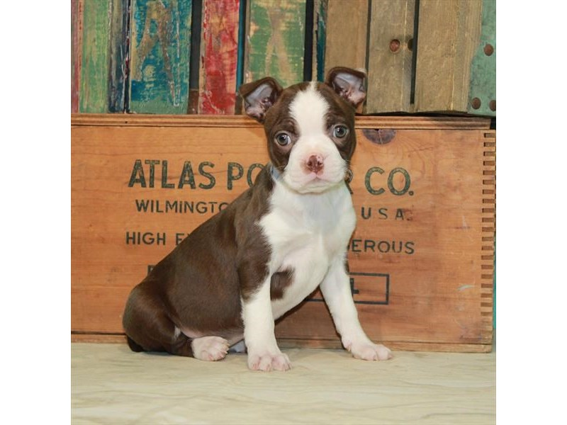 Boston Terrier-Female-Seal Brindle / White-2932131-My Next Puppy