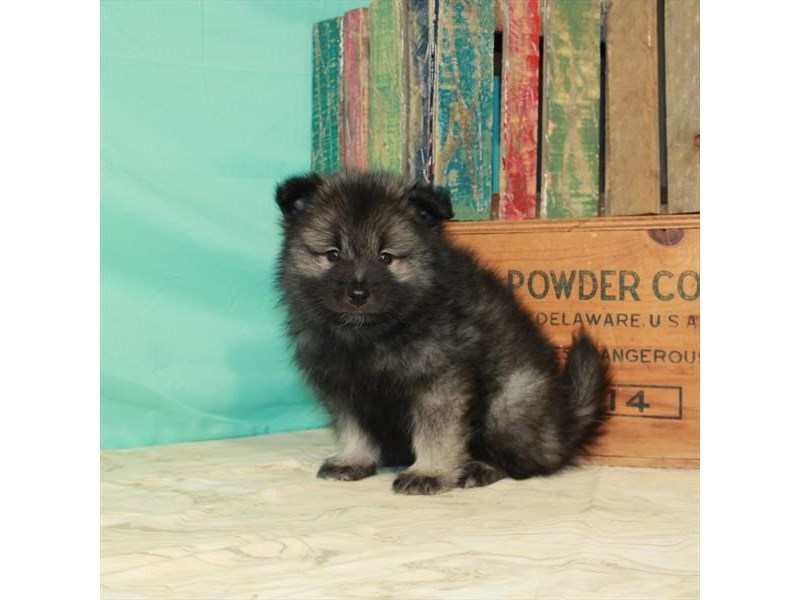 Keeshond-Male-Black / Silver-2932133-My Next Puppy