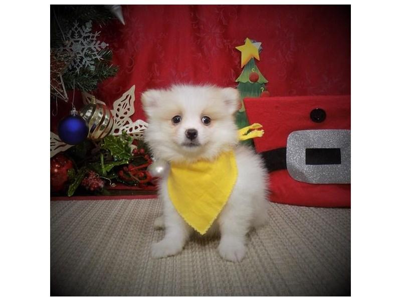 Pomeranian – Sneg