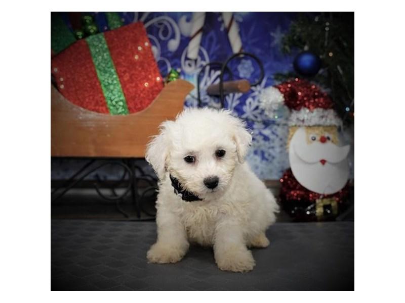 Bichon Frise-Male-White-2932608-My Next Puppy
