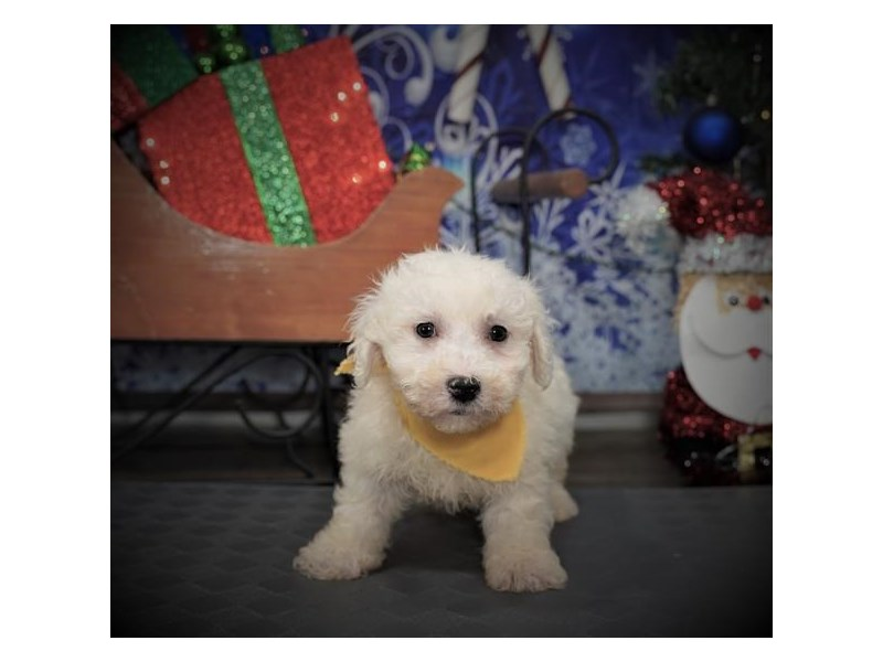 Bichon Frise-Male-White-2932609-My Next Puppy