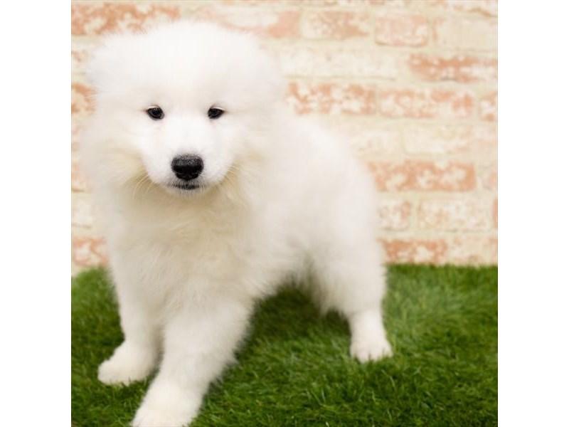 Samoyed-Male-White-2955137-My Next Puppy