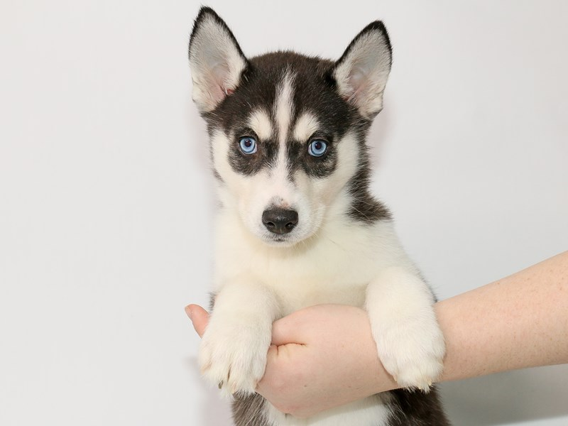 Siberian Husky-Female-Black / White-2963684-My Next Puppy