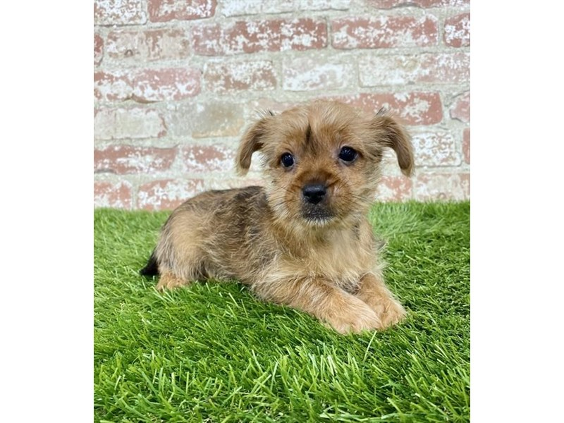 Morkie-Male-Golden-2972842-My Next Puppy