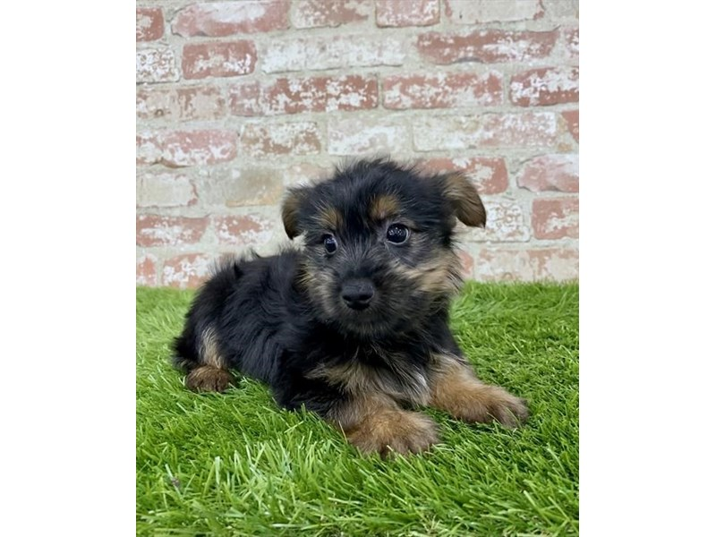 Yorkshire Terrier-Male-Black / Tan-2972845-My Next Puppy