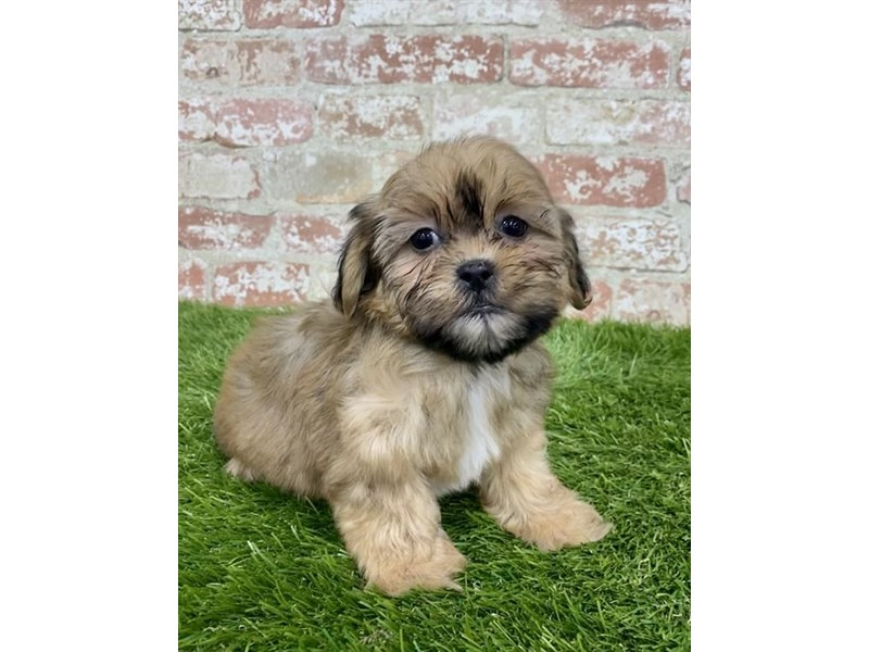 Shorkie-Male-Gold-2972848-My Next Puppy