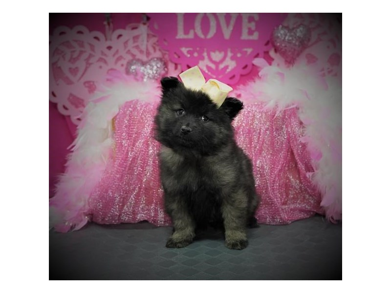 Keeshond-Female-Silver / Black-2980373-My Next Puppy