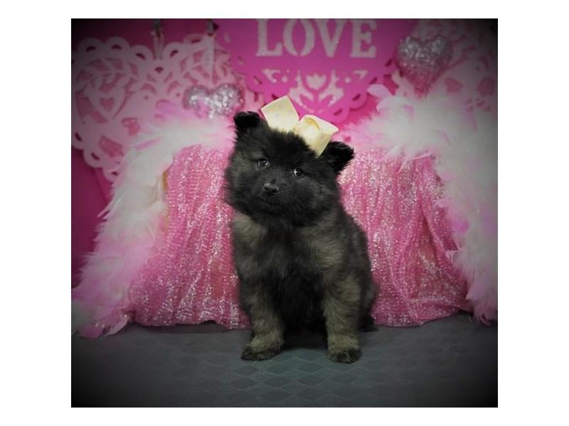 Keeshond-Female-Silver / Black-2980373-My Next Puppy