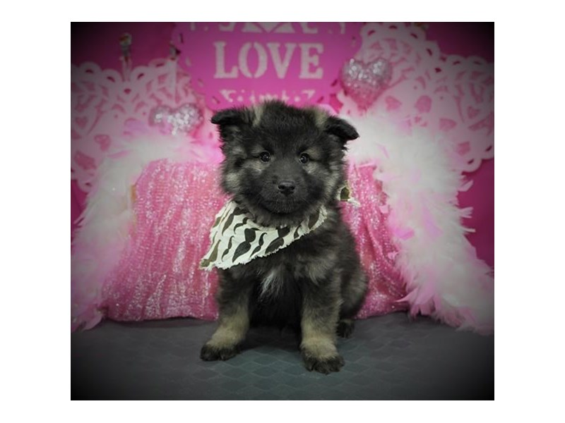 Keeshond-Male-Silver / Black-2980374-My Next Puppy