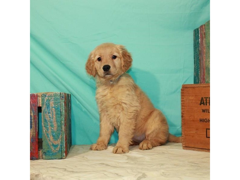 Golden Retriever-Female-Golden-2989263-My Next Puppy