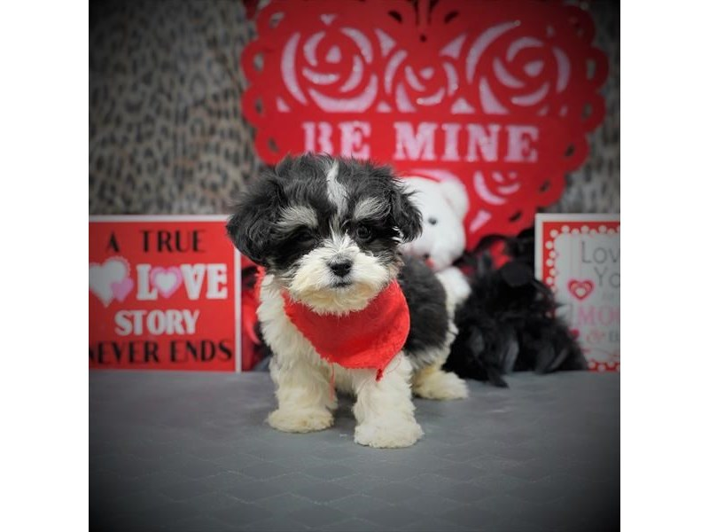 Havanese-Male-Black / Cream-2997079-My Next Puppy