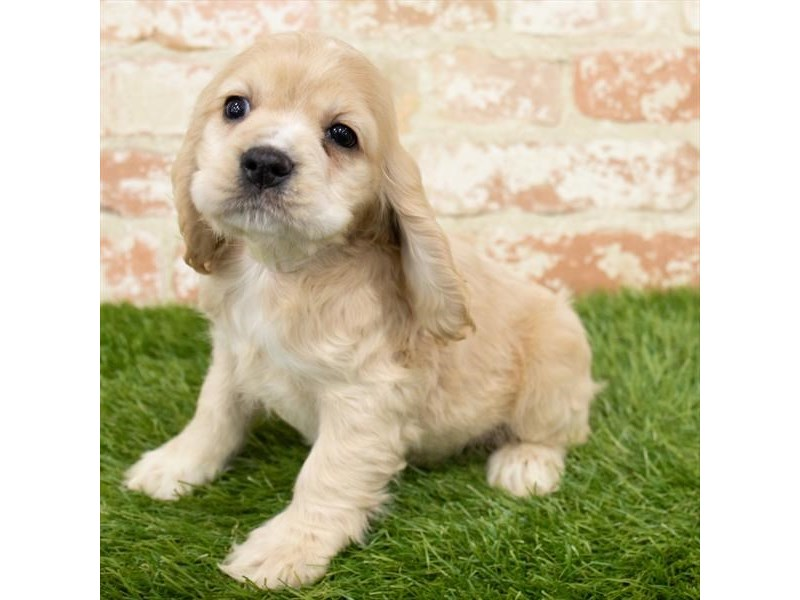 Cocker Spaniel-Female-Buff-2997093-My Next Puppy