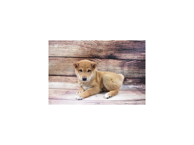 Shiba Inu-Male-Red-2998087-My Next Puppy