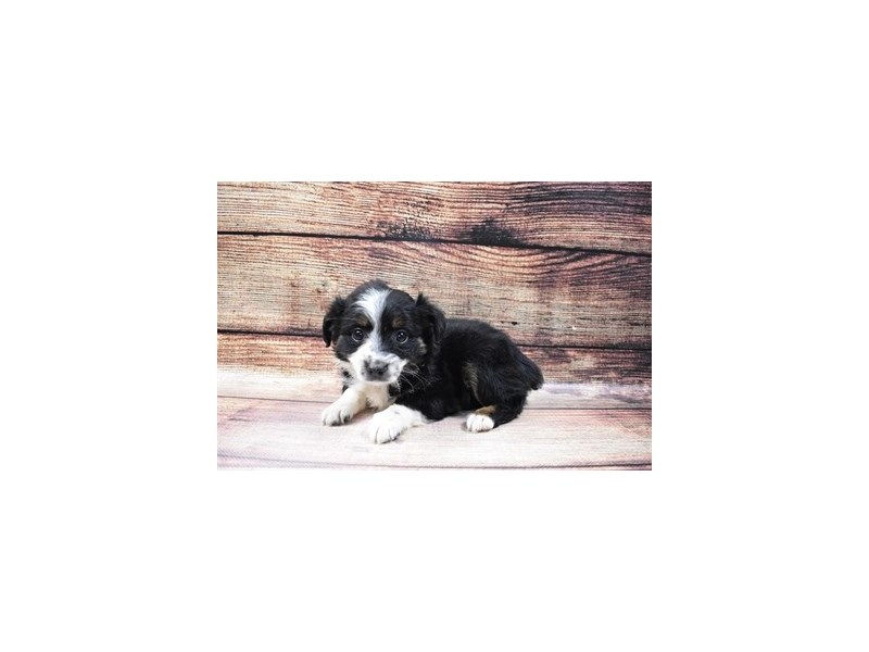 Miniature Australian Shepherd-Female-Black White and Brown-3005778-My Next Puppy