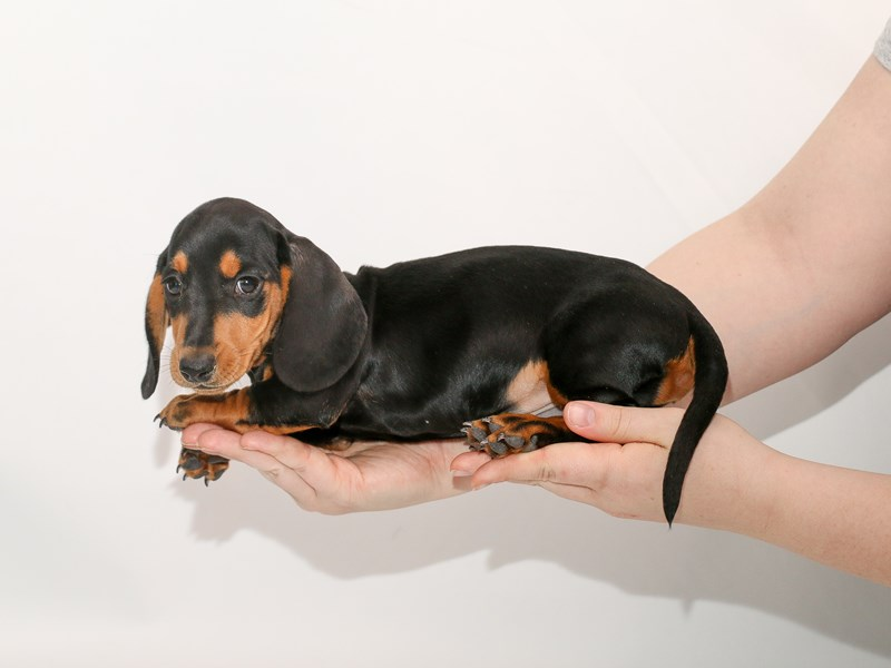 Dachshund-Male-Black / Tan-3005151-My Next Puppy