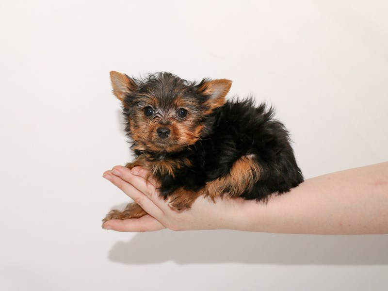 Yorkshire Terrier-Male-Black / Tan-3005162-My Next Puppy